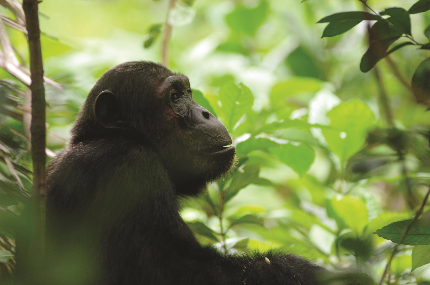 Safari gli Scimpanzè del Mahale